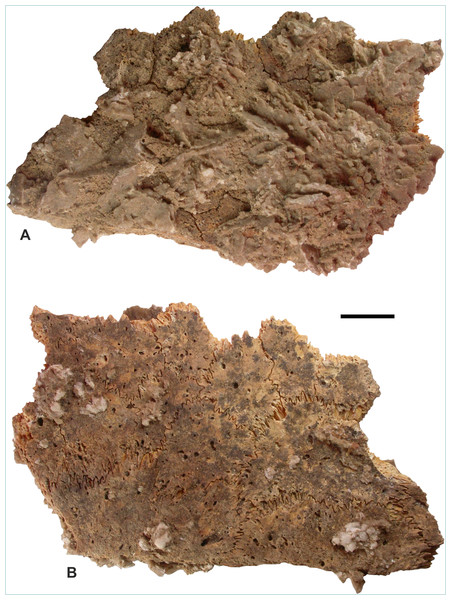 Remains of Dermochelys coriacea (Vandelli, 1761), recovered from the Sultanate of Oman, during the present study, excavated from Room 33 of the Bronze Age archeological site at Ra's al-Hadd-6.
