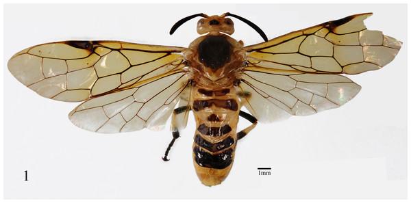 Arge bella Wei & Du sp. nov. Adult female, dorsal view.