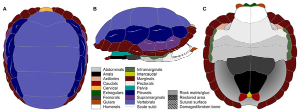 Nomenclature of turtle scutes shown on the reconstruction of the shell of Proterochersis robusta in (A) dorsal, (B) lateral left, and (C) ventral view, and the legend of color and pattern codes used.
