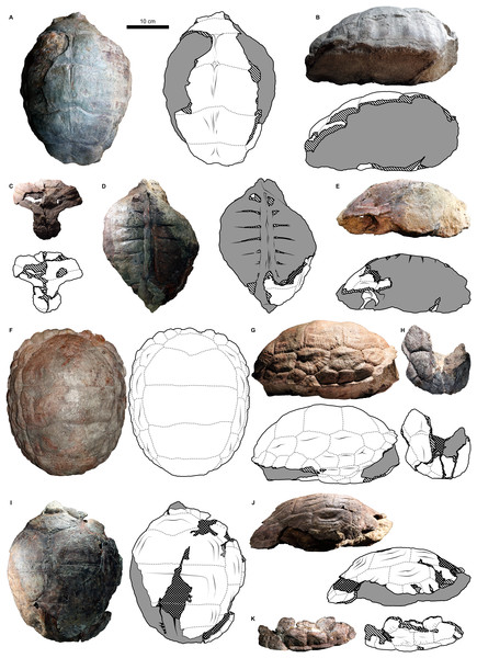 External carapace morphology of Proterochersis robusta.