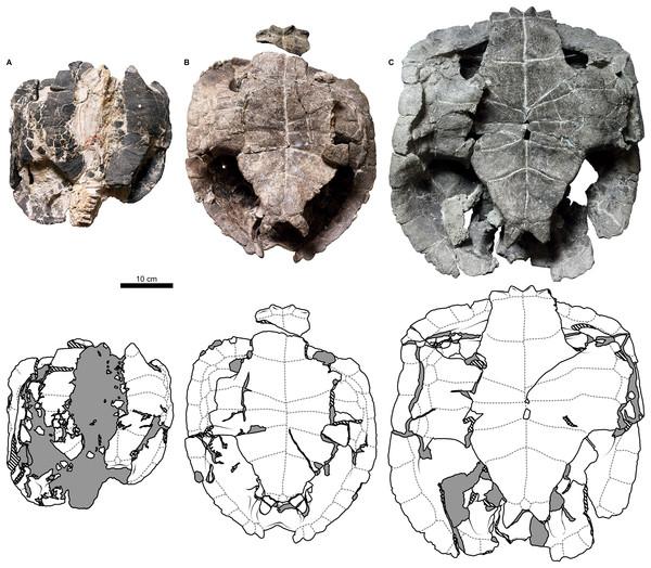 External plastron morphology of Proterochersis porebensis.