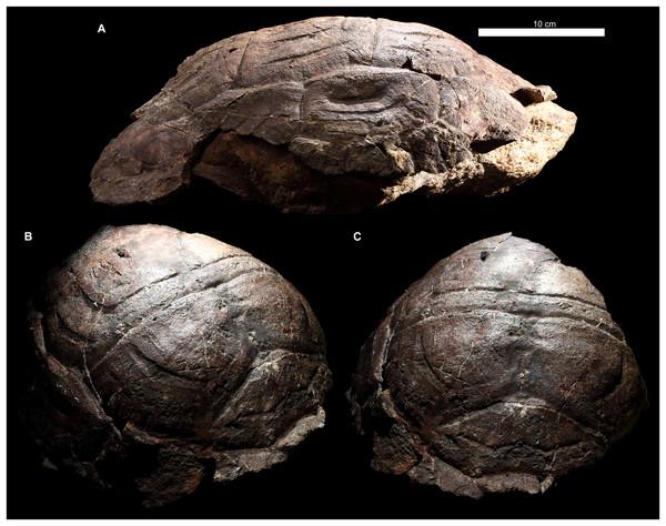 Proterochersis robusta, SMNS 17930, carapace in (A) lateral right, (B) laterodorsoanterior, and (C) dorsoanterior view.