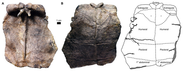 Proterochersis porebensis, ZPAL V.39/385, anterior plastral lobe with supernumerary scutes (*) in (A) visceral and (B) external view.