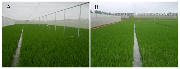 Photograph of insect-proof nets cultivation (A) and open field cultivation (B).