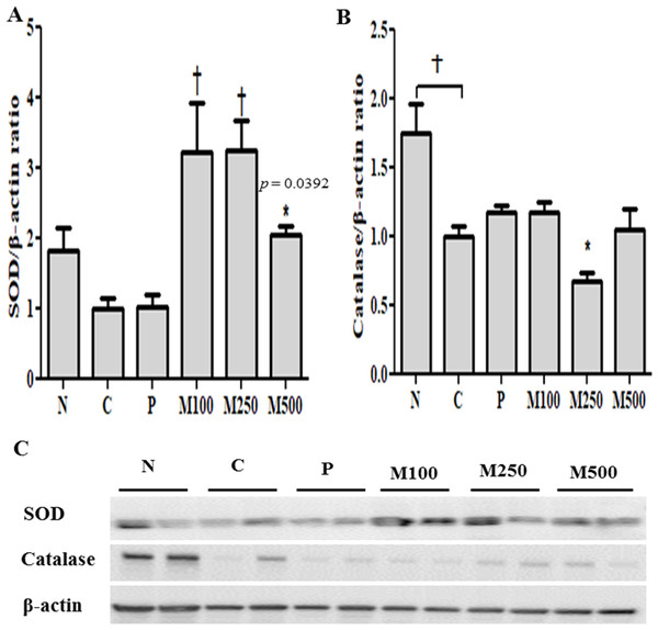 Effect of mackerel muscle protein hydrolysate on SOD and CAT protein levels in liver.