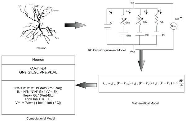 Computational modelling of neurons.