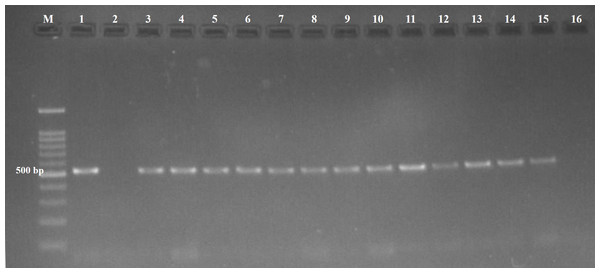 Agarose gel (1.5%) stained showing amplicons of Toxoplasmagondii.