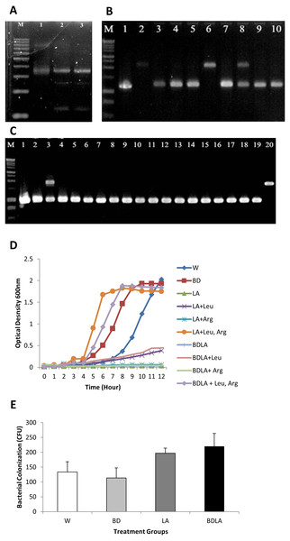 Representative of PCR amplification showing successful retargeted intron in S. Agona (A), colony PCR to confirm leuB and argD knockout (B) & (C), growth kinetics (D) and in vitro invasion activity (E).