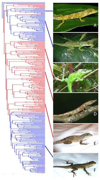 Phylogenetic distribution of mainland and island habitation in Anolis and three potential examples of mainland–island convergence.
