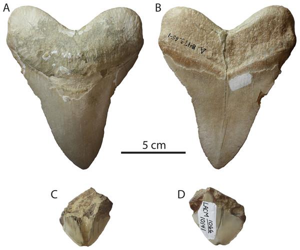 Otodus megalodon teeth of purported Pleistocene age.
