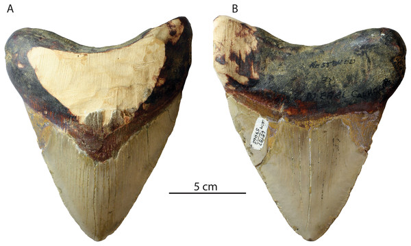 Otodus megalodon tooth from the Niguel Formation.