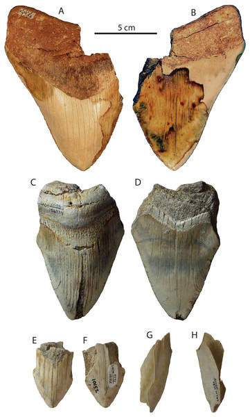 Otodus megalodon teeth from the San Diego Formation.