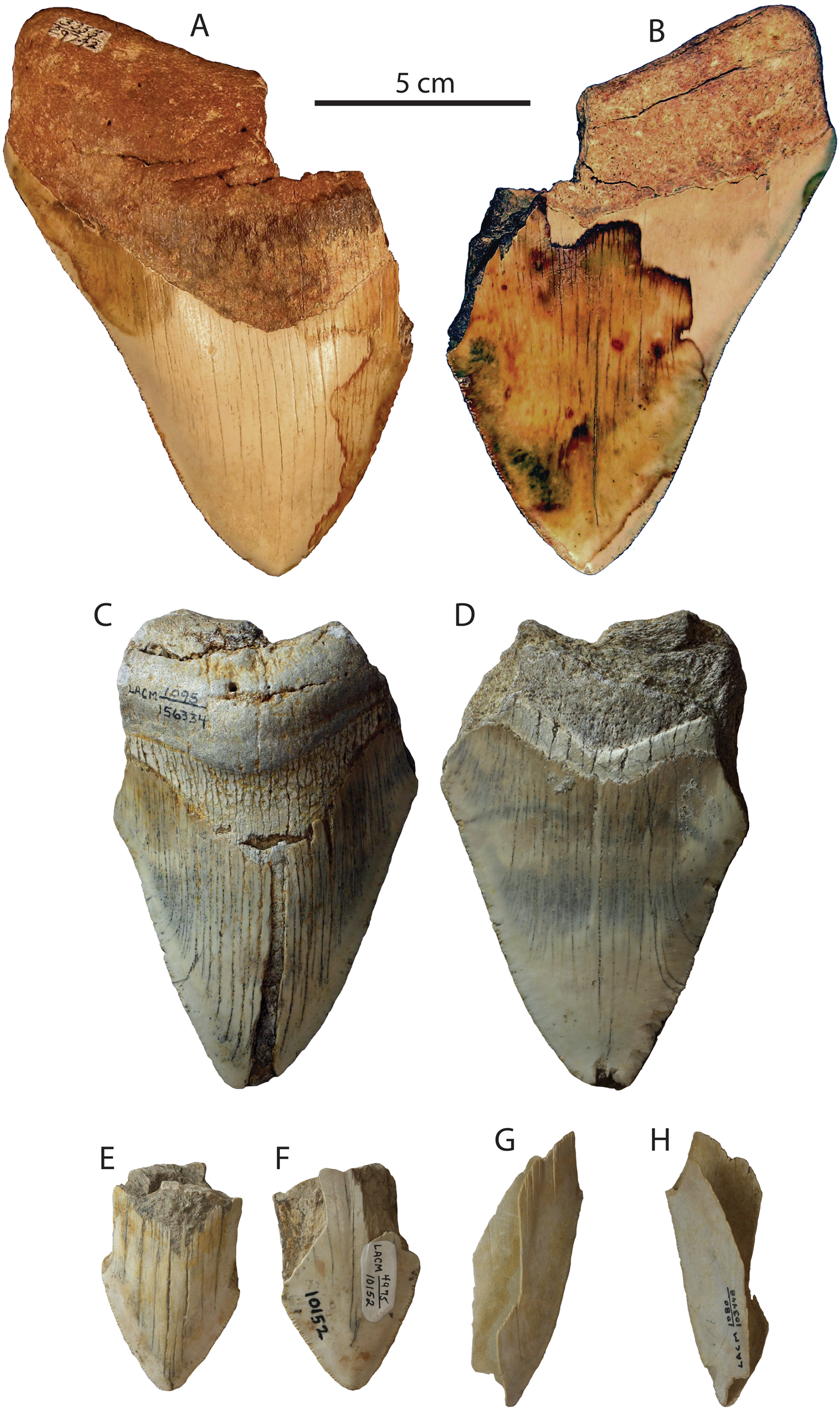 The Early Pliocene extinction of the mega-toothed shark