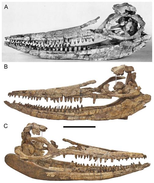 Three-dimensional skull of BMT 1955.G35.1, Protoichthyosaurus prostaxalis.
