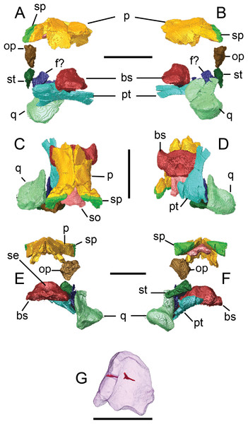Surface models (generated from micro-CT scan data) of preserved palatal and braincase bones from BMT 1955.G35.1, Protoichthyosaurus prostaxalis.