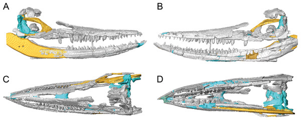 Surface models (generated from CT scan data) of the skull of BMT 1955.G35.1, Protoichthyosaurus prostaxalis, highlighting differences between the original skull and reconstruction.