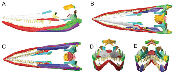 Surface models (generated from CT scan data) of the skull of BMT 1955.G35.1, Protoichthyosaurus prostaxalis.