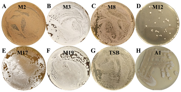 The pictures of Streptomyces sp. S063.