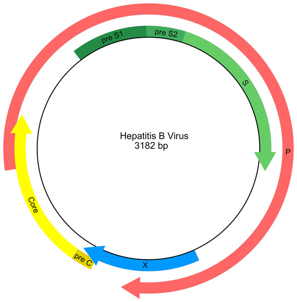 Genetic map of the hepatitis B virus genome.