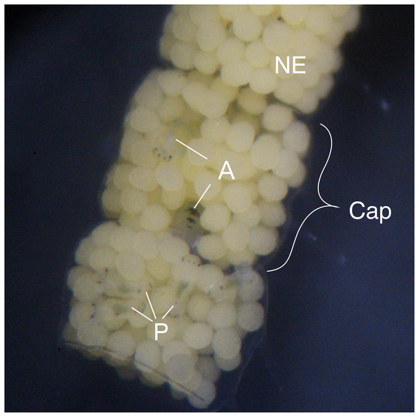 Type III egg mass of B. wellingtonensis.