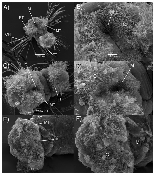 Electron microscopy images of B. wellingtonensis larvae.