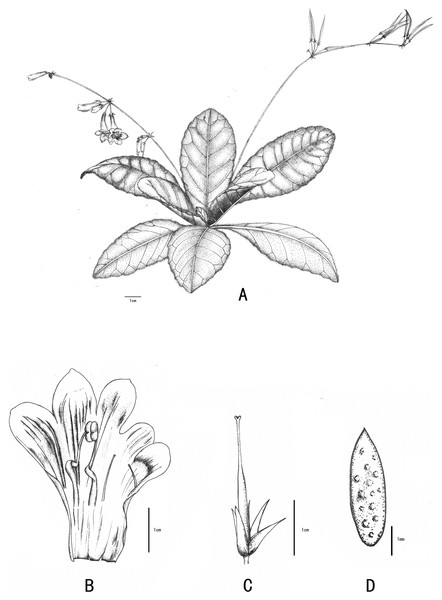 Line-drawing of Primulina anisocymosa.