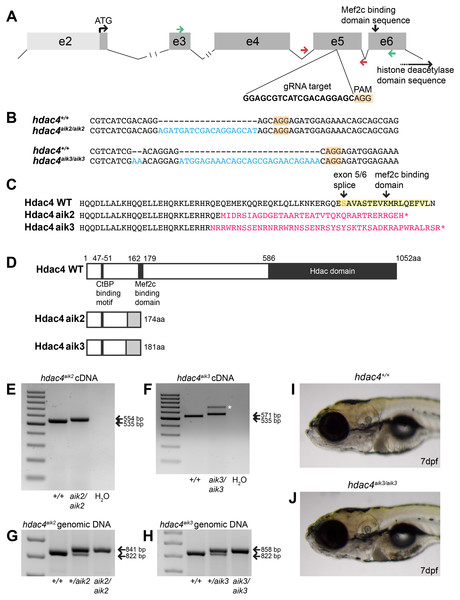 Overview of CRISPR strategy and generation of hdac4 mutant lines.