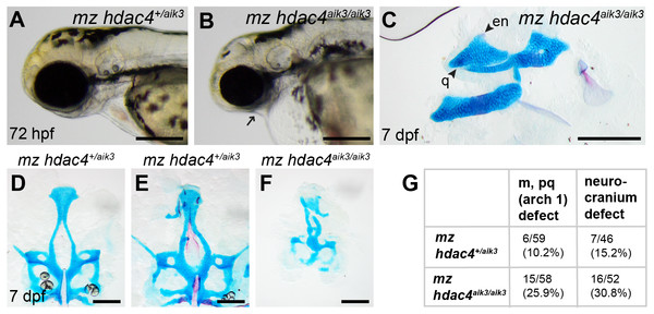 Analysis of maternal-zygote mutant and heterozygote first pharyngeal arch defects in fixed whole mount specimens and in specimens stained using Alcian Blue and Alizarin Red dyes.