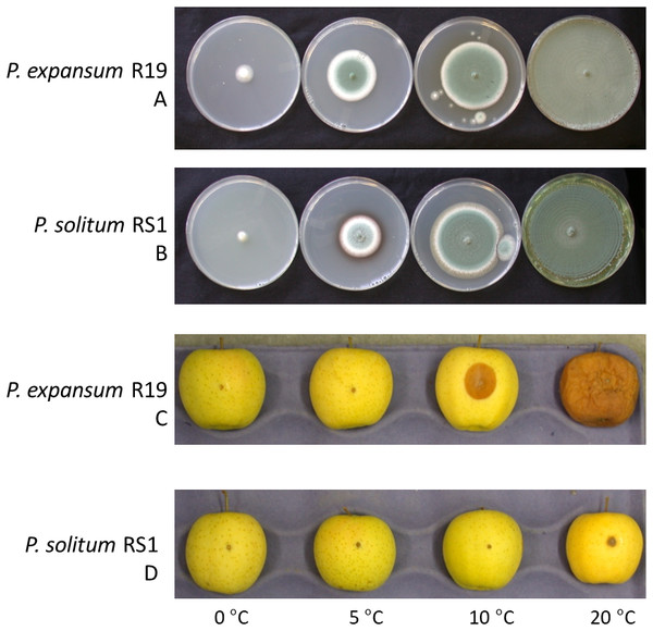 Effect of temperature on fungal growth in culture and during apple fruit decay.