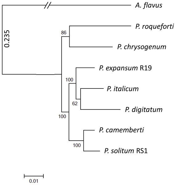 Phylogenomic analysis of seven Penicillium species.