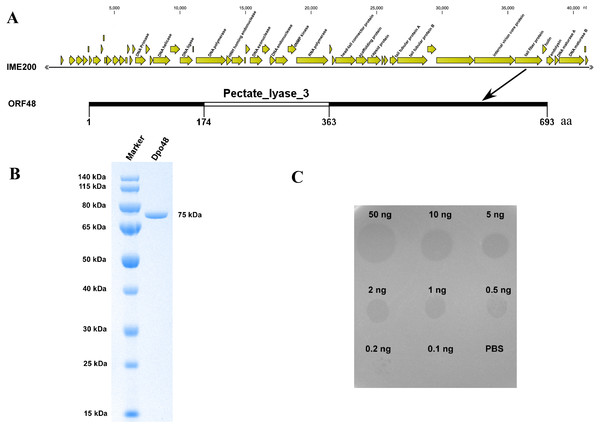 Bioinformatic analysis and expression of ORF48 and determination of its depolymerase activity.
