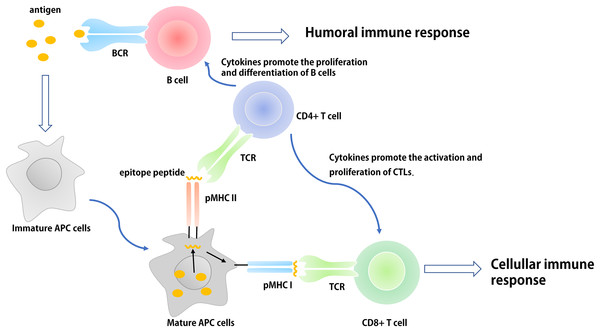 The basic process of immune response in vivo.