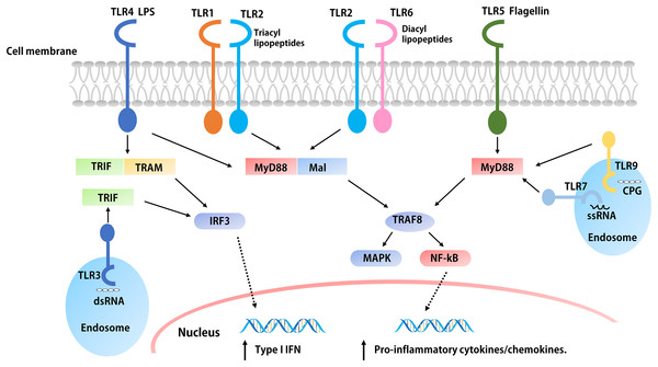 The signaling pathways of TLRs.