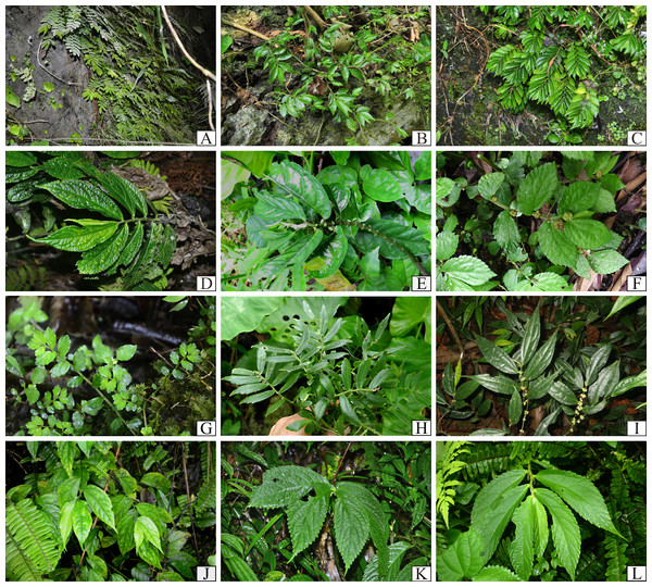 Plate I of representative Elatostema species in Vietnam: (A) E. crassiusculum; (B) E. glochidioides; (C) E. hookerianum; (D) E. prunifolium; (E), E. arcuatobracteatum; (F), E. retrohirtum; (G), E. obtusum; (H) E. ramosum; (I) E. integrifolium; (J) E. fengshanense; (K) E. austrosinense; (L) E. malacotrichum.
