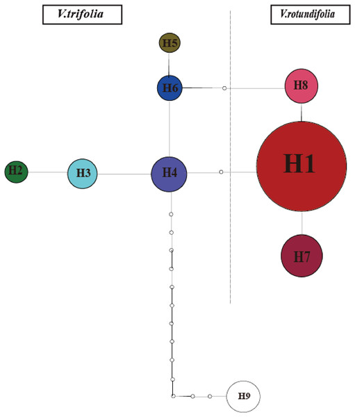 Minimum spanning network of eight cpDNA haplotypes in V. rotundifolia and V. trifolia.