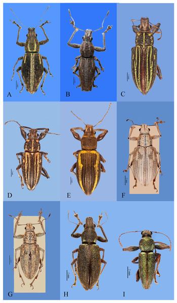 Habitus photographs of Naupactus xanthographus, N. rivulosus and N. auricinctus species groups, dorsal views.