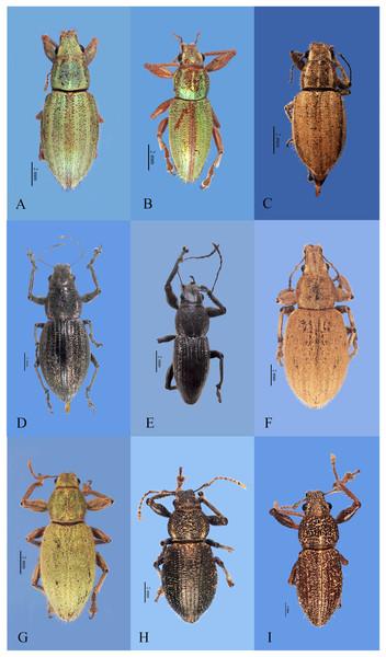 Habitus photographs of Naupactus hirtellus, N. leucoloma and N. purpureoviolaceus species groups, dorsal views.