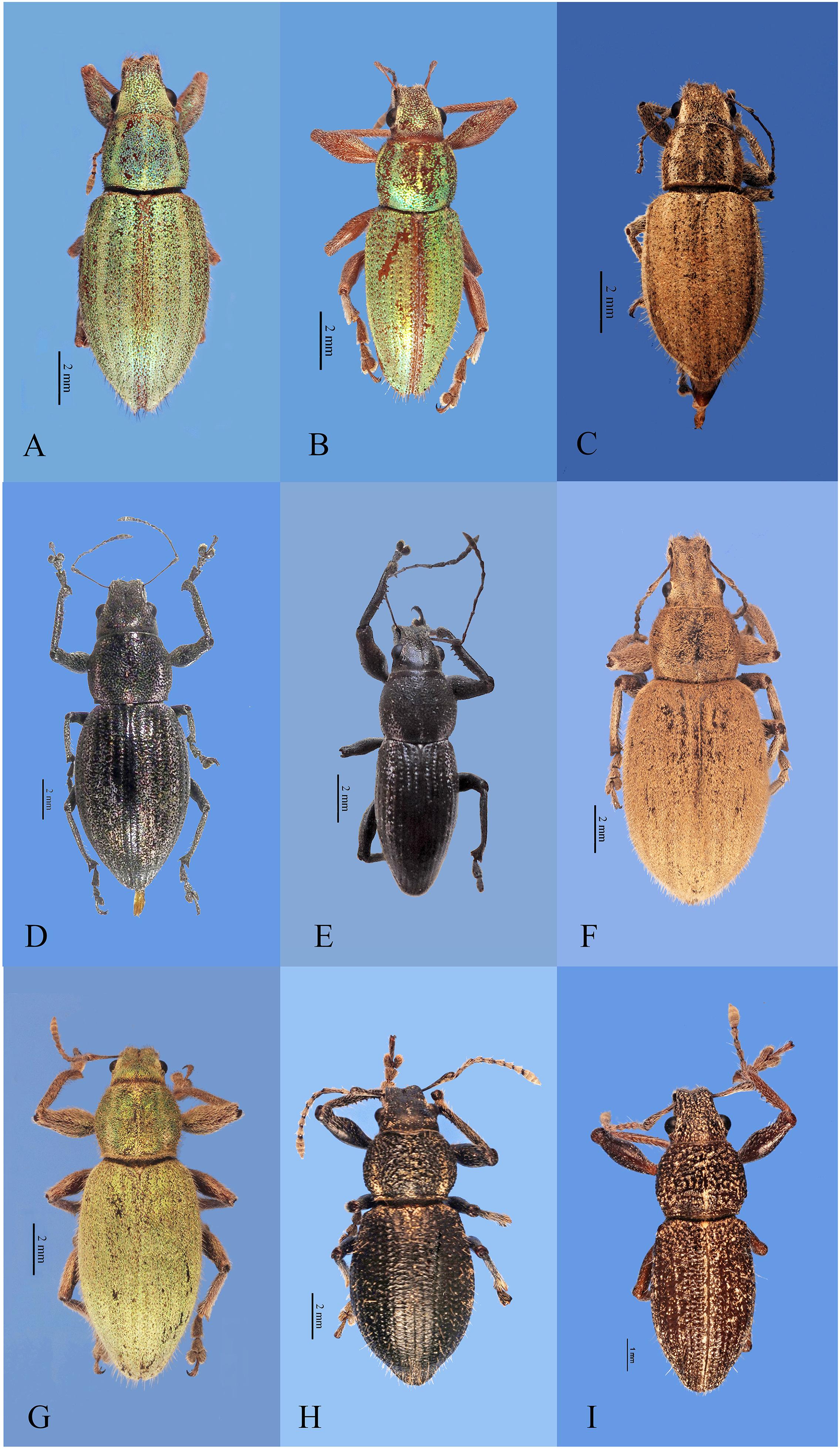 Recognition of species groups of Naupactus Dejean