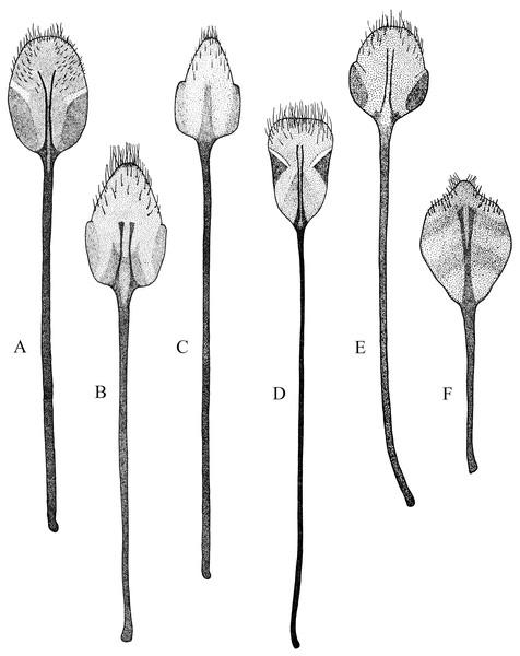 Female terminalia, sternite VIII.