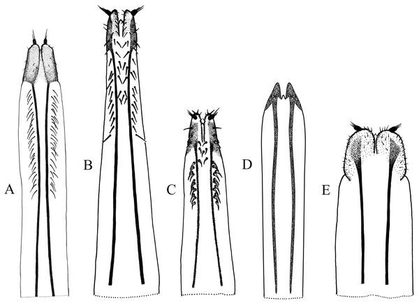 Female genitalia, ovipositor, ventral views.