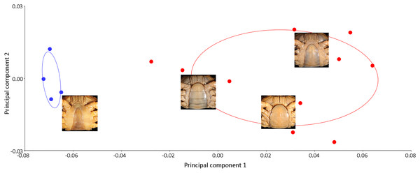 Biplot of PCA showing distinct variations in the shape of the male (blue dots) and female (red dots) pleon of I. nimboni. PC1 and PC2 depict 84.4% and 5.99% of variance, respectively.