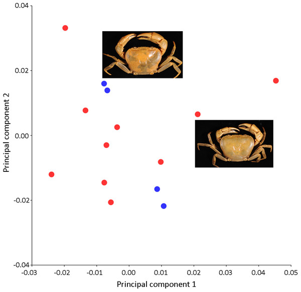 PCA showing insignificant variations in the shape of the male carapace (blue dots) and female carapace (red dots) of I. nimboni.