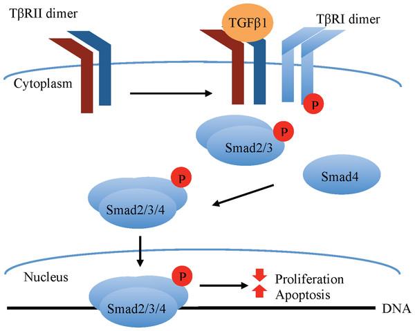 Canonical TGFβ signaling.