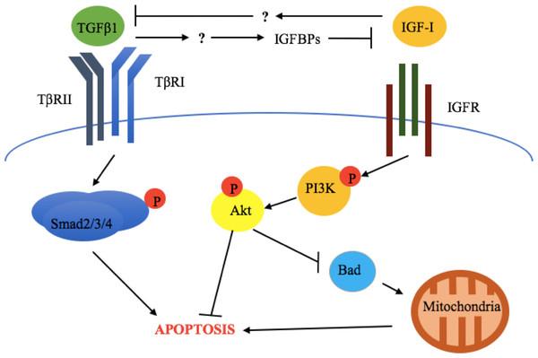 Crosstalk between TGFβ1 and the somatotropic pathway.