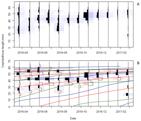 Cephalothorax length (CTL) frequency distribution and growth curves of male Procambarus clarkii during sampling time.
