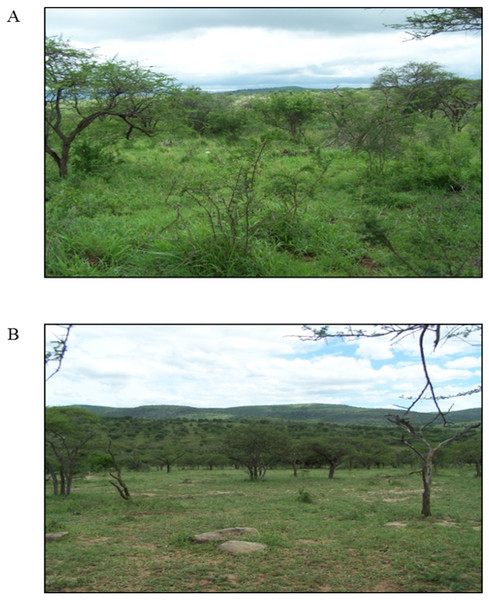 Photographs depicting (A) the complex bunch grass habitat and (B) the simple grazing lawn habitat in Hluhluwe-iMfolozi Park, South Africa.