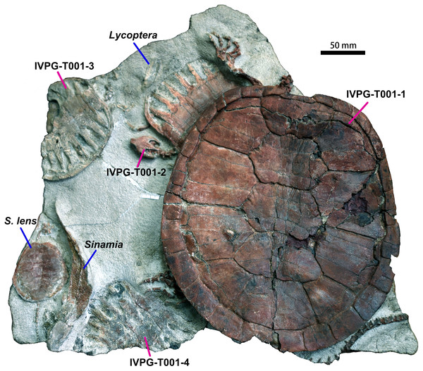 Ordosemys leios (IVPG-T001-1, IVPG-T001-2, IVPG-T001-3, and IVPG-T001-4; in dorsal view) from the Early Cretaceous Mengyin Formation of Ningjiagou, Xintai, western Shandong, China.