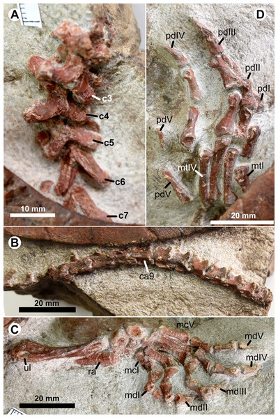 Postcranial skeleton of  Ordosemys leios (the adult IVPG-T001-1) from the Early Cretaceous Mengyin Formation of Ningjiagou, Xintai, western Shandong, China.