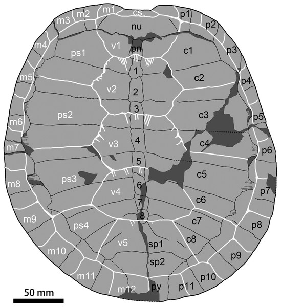 Carapace of  Ordosemys leios (the adult IVPG-T001-1; in dorsal view) from the Early Cretaceous Mengyin Formation of Ningjiagou, Xintai, western Shandong, China.