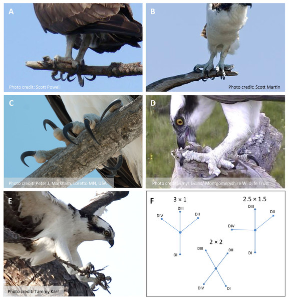Photos of Ospreys showing grasping scenarios and representative object types and sizes.